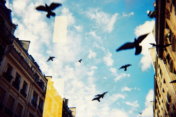 pigeon-vol